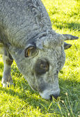 Jediná kráva — Stock fotografie