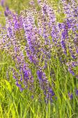 Lavender — Stock Photo