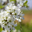 Cherry Flowers — Stock Photo #21866057