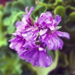 Geranium — Stock Photo #29731407