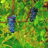 Grape — Stock Photo