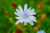 Blue lily — Stock Photo