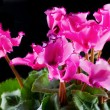Cyclamen — Stock Photo #33376499