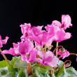 Cyclamen — Stock Photo #33629193