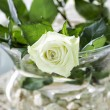 Stock Photo: White rose