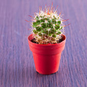 Echinopsis subdenudata — Stock Photo