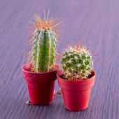 Cacti — Stock Photo