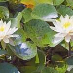 Waterlily — Stock Photo #6452553
