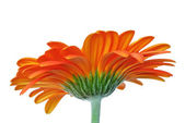Beautiful orange gerber daisy flower on white — Stock Photo