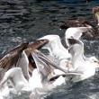 Seagulls and Pelicans feeding frenzy in bay — Stock Photo
