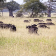 Buffalos In Tanzania — Stock Photo #31355675