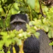Velvet Monkey In The Wild — Stock Photo #31356379