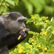 Velvet Monkey In Wild — Stock Photo #31360691