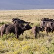 Buffalos In Tanzania — Stock Photo