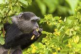 Velvet Monkey In The Wild — Stock Photo