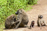 Playful Monkey Family In The Wild — Stock Photo