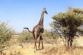 выпас жираф — Стоковое фото