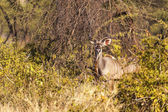 Impalas in de wildernis — Stockfoto