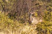 Impalor i vildmarken — Stockfoto