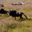 Stock Photo: Wildebeests on Serengeti
