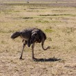 Stock Photo: Ostrich In Africa