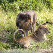Постер, плакат: Playful Lions In Africa