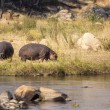 Hippopotamus in the savannah of Africa — Stock Photo #31373091