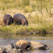 Hippopotamus in the savannah of Africa — Stock Photo