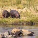Hippopotamus in the savannah of Africa — Stock Photo