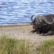 Cape Buffalo By Water — Stock Photo #31373389