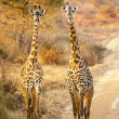 Stock Photo: Giraffes In The Wilderness