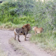 Lions In Tanzania — Stock Photo