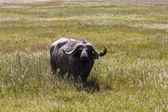 Profil av en buffel — Stockfoto
