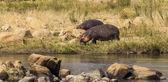 Hippos grazing near river — Stock Photo