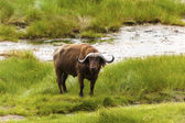 Standing Cape Buffalo By The Water — Stock Photo