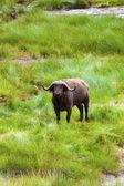 Beautiful Cape Buffalo — Stock Photo