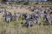 Zebry v tanzanii — Stock fotografie
