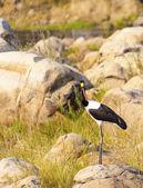 Silla de montar – billed stork — Foto de Stock