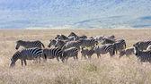 Rebanho de zebra durante a migração em tanzânia do parque nacional de serengeti — Fotografia Stock