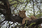 Lion On The Tree — Stock Photo
