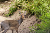 Small african deer looking at camera — Stock Photo