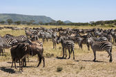 Zebras In Serengeti National Park — Stock Photo