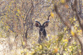 African kudu bull looking from trees — Stock Photo