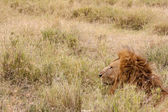 Resting lonely lion — Stock Photo