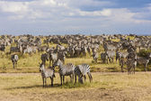 Zebra herd during migration in Serengeti national park Tanzania — Stock Photo