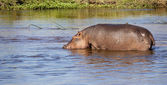Hippopotamus drinking water — Stock Photo