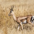 Stock Photo: Gazelle in Serengeti, Tanzania