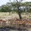 Impala Ram Herding His Harem away in Tanzania Wilderness — Stock Photo #31397341