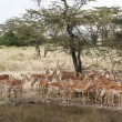 Impala Ram Herding His Harem away in Tanzania Wilderness — Stock Photo #31397417