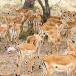 Impala Ram Herding His Harem away in Tanzania Wilderness — Stock Photo #31397513